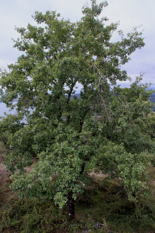 Quercus faginea Lam. subsp. faginea